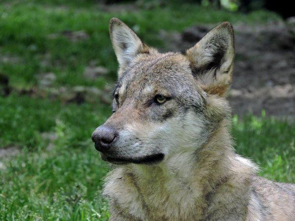 Sur mon blog c'est la semaine du loup (39/45)