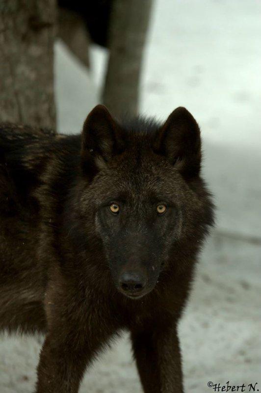 Sur mon blog c'est la semaine du loup (37/45)