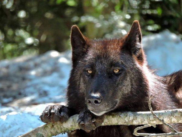 Sur mon blog c'est la semaine du loup (36/45)