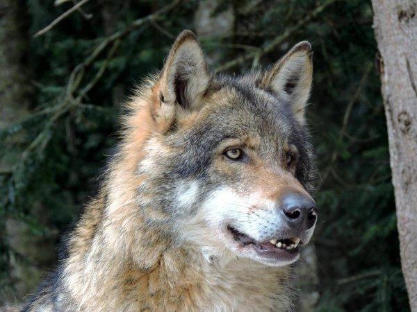Sur mon blog c'est la semaine du loup (34/45)