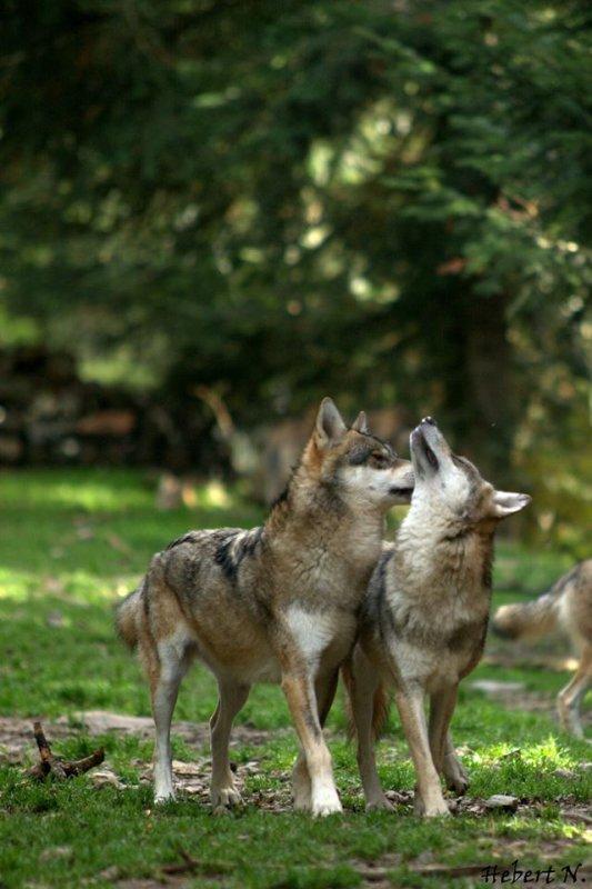 Sur mon blog c'est la semaine du loup (33/45)