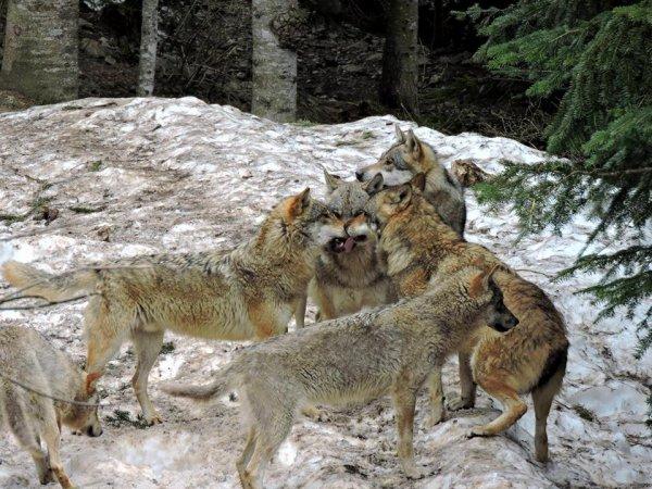 Sur mon blog c'est la semaine du loup (32/45)