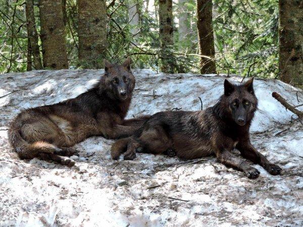 Sur mon blog c'est la semaine du loup (31/45)