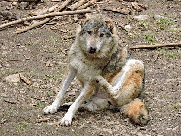 Sur mon blog c'est la semaine du loup (30/45)