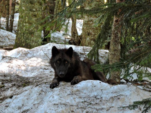 Sur mon blog c'est la semaine du loup (29/45)