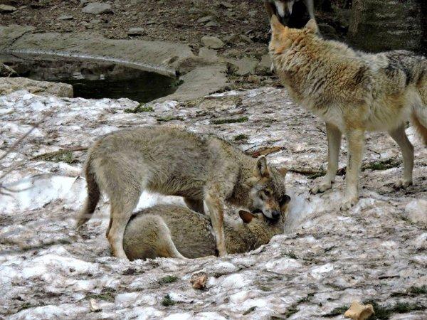 Sur mon blog c'est la semaine du loup (28/45)