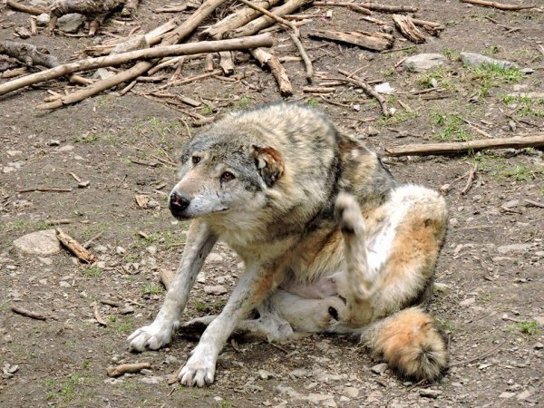 Sur mon blog c'est la semaine du loup (27/45)