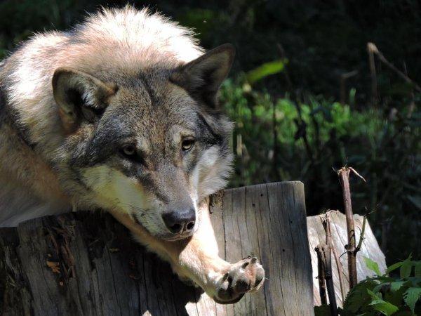 Sur mon blog c'est la semaine du loup (26/45)