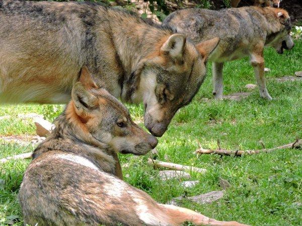 Sur mon blog c'est la semaine du loup (25/45)