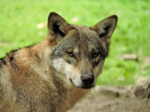 Sur mon blog c'est la semaine du loup (24/45)