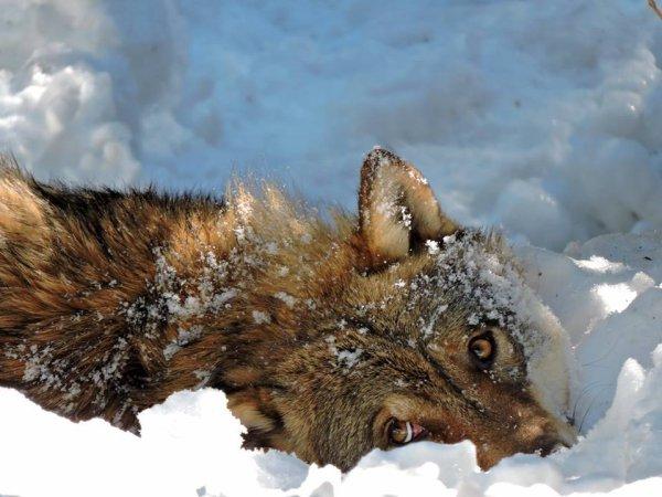 Sur mon blog c'est la semaine du loup (21/45)