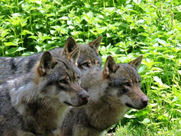 Sur mon blog c'est la semaine du loup (20/45)