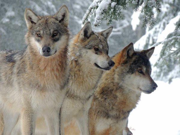 Sur mon blog c'est la semaine du loup (19/45)