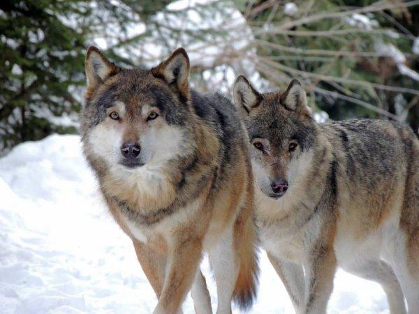 Sur mon blog c'est la semaine du loup (18/45)