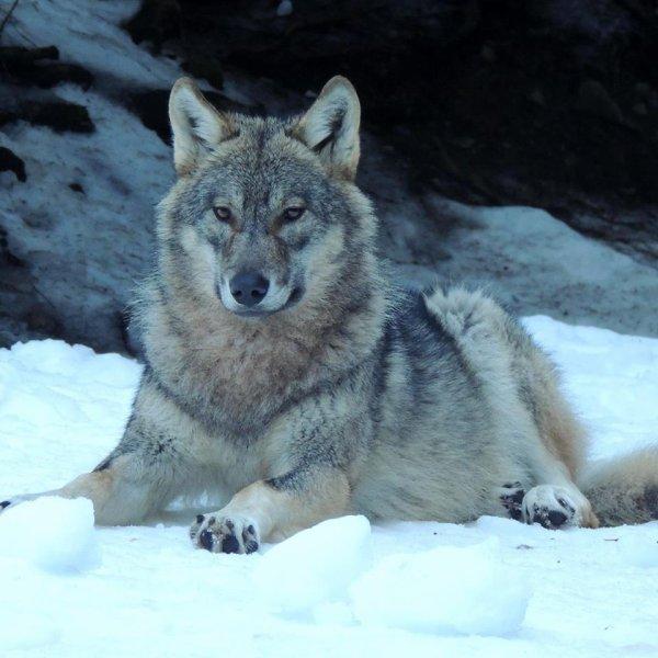 Sur mon blog c'est la semaine du loup (17/45)