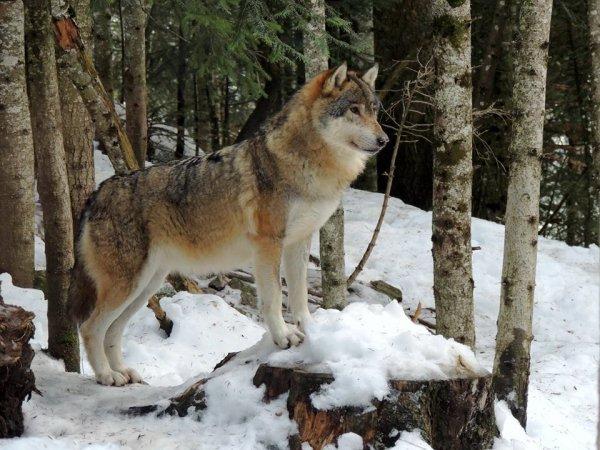 Sur mon blog c'est la semaine du loup (16/45)
