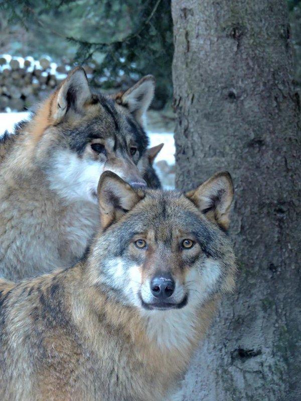 Sur mon blog c'est la semaine du loup (14/45)