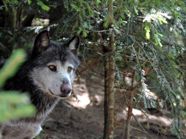 Sur mon blog c'est la semaine du loup (13/45)