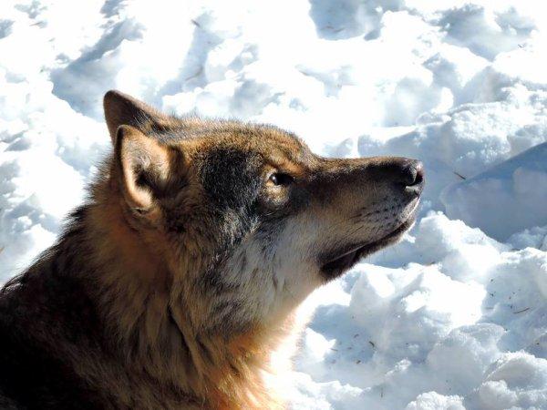 Sur mon blog c'est la semaine du loup (12/45)