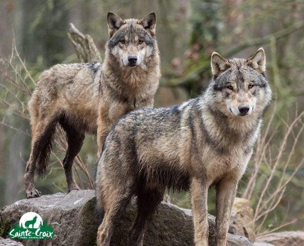 Sur mon blog c'est la semaine du loup (11/45)