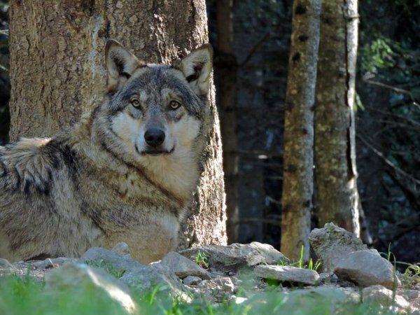 Sur mon blog c'est la semaine du loup (10/45)