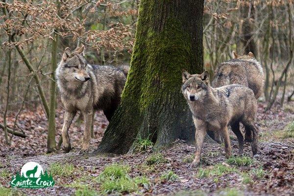 Sur mon blog c'est la semaine du loup (9/45)