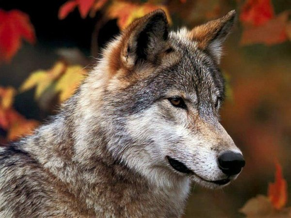 Sur mon blog c'est la semaine du loup (8/45)