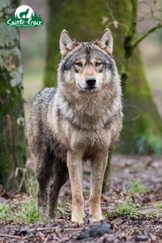 Sur mon blog c'est la semaine du loup (7/45)