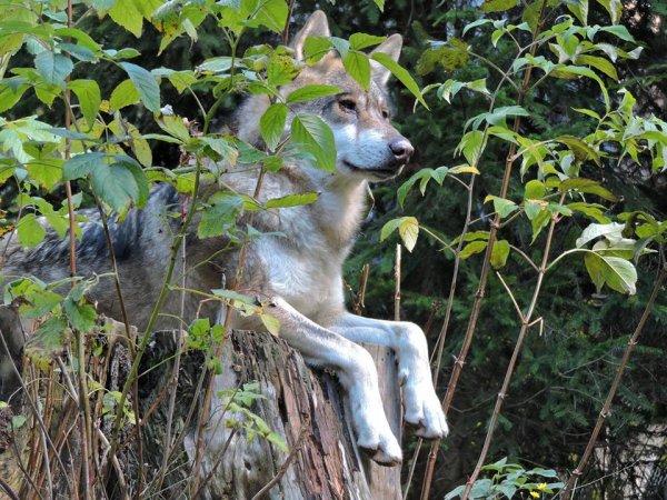 Sur mon blog c'est la semaine du loup (5/45)