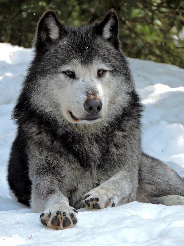 Sur mon blog c'est la semaine du loup (4/45)