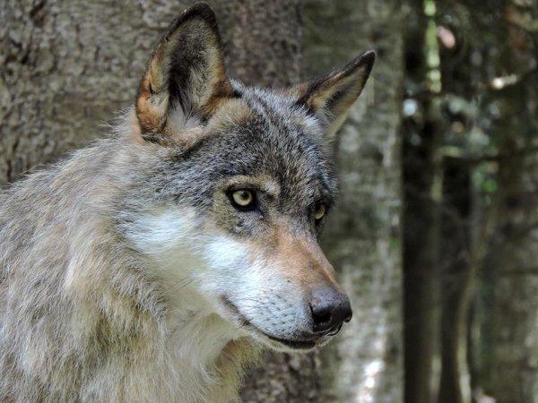 Sur mon blog c'est la semaine du loup (2/45)