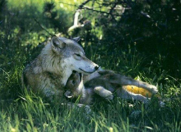 Sur mon blog c'est la semaine du loup (1/45)