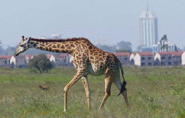 VIDEO. Les girafes et des centaines d'oiseaux entrent dans la liste des espèces menacées