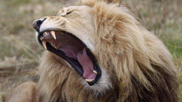 Un lion qui montre ses crocs