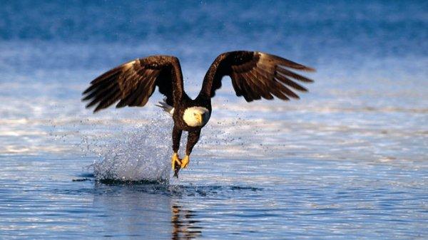 Un aigle qui vient de pêcher