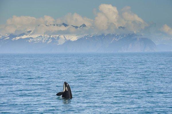 Une orque en liberté heureuse