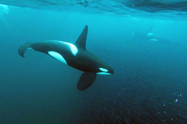 Une orque dans l'océan
