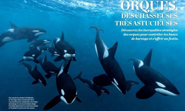 Des orques de bonnes chasseuses