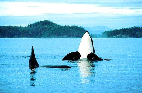 Des orques en surface