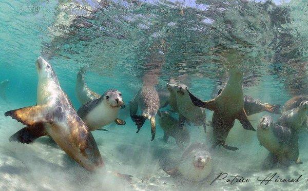 Tout pleins de lions de mer