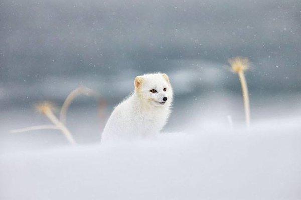 Un renard polaire dans un paysage hivernal