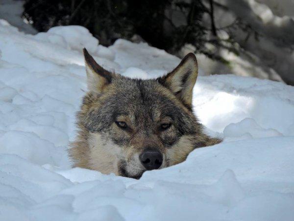Un loup qui joue à cache cache