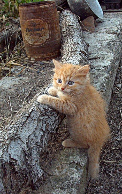Un chat roux magnifique