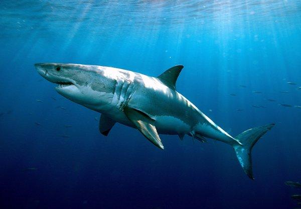 Un grand requin blanc qui vous surveille
