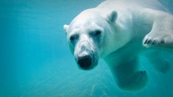 Un bel ours polaire