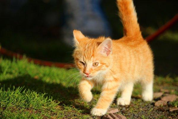 Un beau chat roux (2/3)