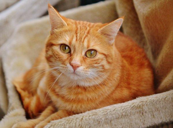 Un beau chat roux