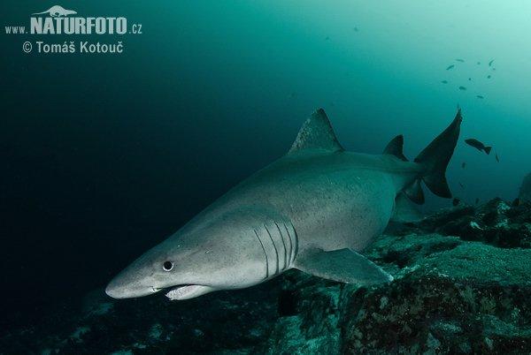 Un beau requin dans l'océan (2/4)