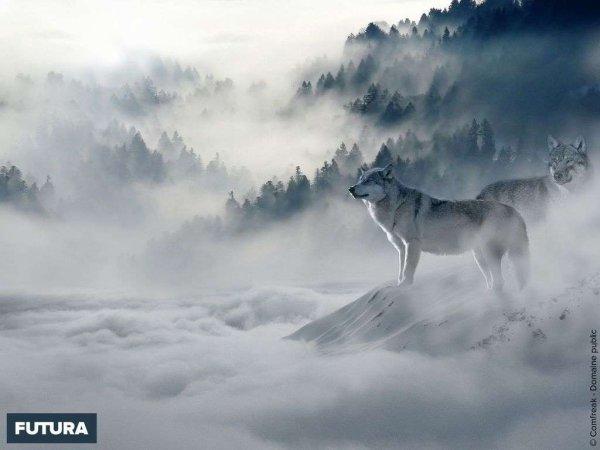 Des loups dans un paysage somptueux