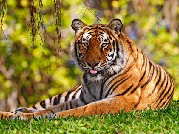 Un très beau tigre allonger